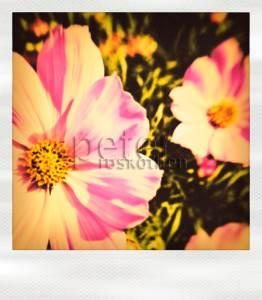 """""""Polar Blüte"""", Fotocollagen hinter Acryl 70*80cm - © Fotokunst Peter Roskothen"""