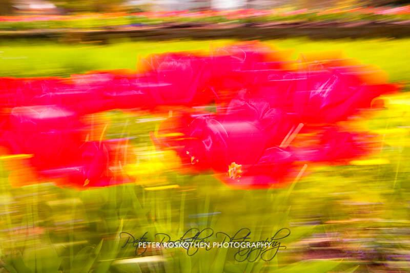 Tulpen Fotografie Frühlingsfoto Peter Roskothen Fotograf