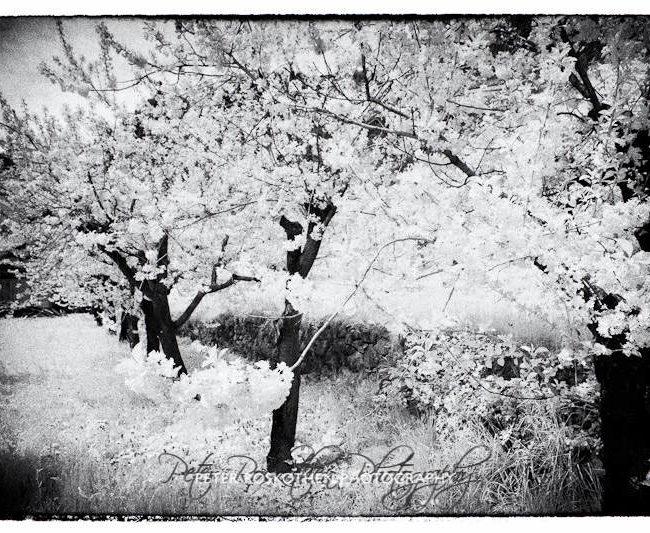 Obstbaum Blüte Foto