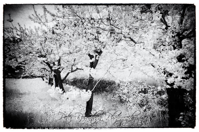 Obstbaum Blüte schwarzweiss Foto Peter Roskothen Fotograf Fotokunst