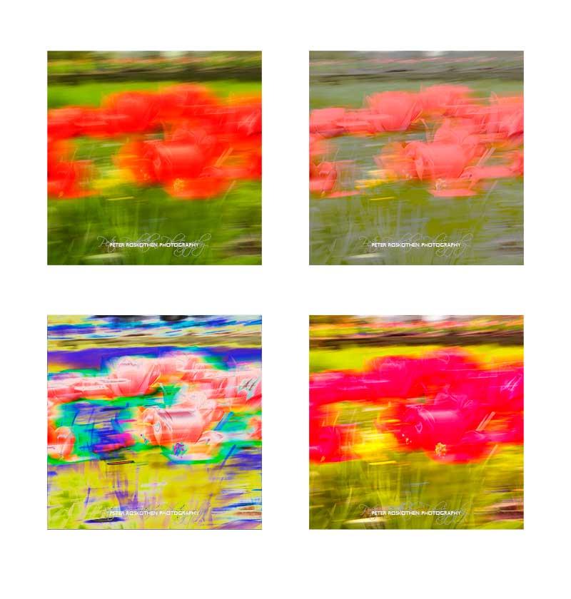 Tulpen Fotografie - Quadratische Varianten des Fotos in Vierergruppe, Fotograf Peter Roskothen