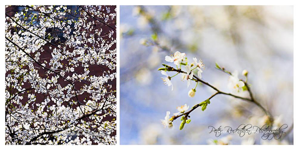 Frühlingsblüte - Freie Fotografie Fotokunst Peter Roskothen Macrofoto Naturfoto Photoart