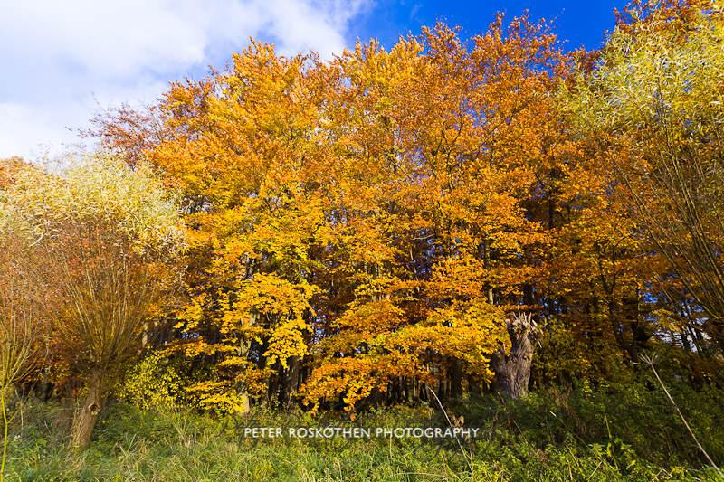 Herbstfoto Nettetal Hinsbeck Kopfweiden vor Herbstlaub Fotograf Peter Roskothen