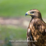 Adler Flugshow Fotoexkursion Kasteeltuinen Arcen NL
