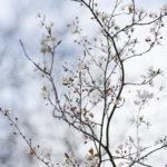 Baumblüte, Frühling, Fotograf Peter Roskothen