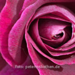 Makro Rose Focus Stacking