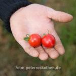 20130909 5099 - Die leckersten Tomaten - Fotoreportage