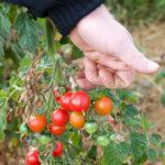 20130909 5113 - Die leckersten Tomaten - Fotoreportage