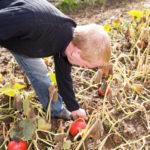 20130909 5129 - Die leckersten Tomaten - Fotoreportage