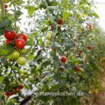 20130909 5211 - Die leckersten Tomaten - Fotoreportage