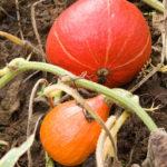 20130909 5251 - Die leckersten Tomaten - Fotoreportage