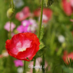 mohnbluete - Fotoworkshop Makrofotografie im Botanischen Garten Krefeld